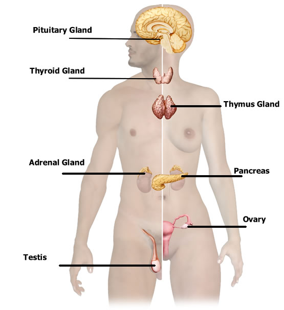 Endocrine Glands Health