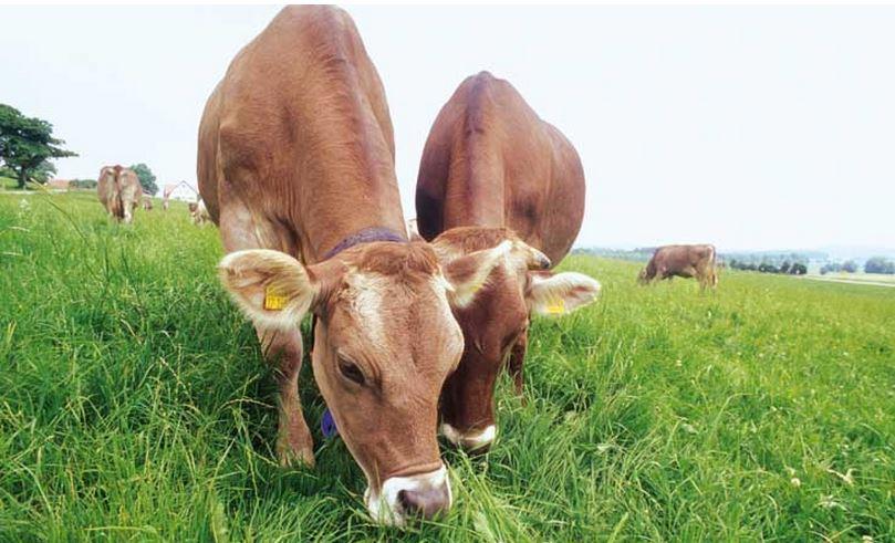 European cows grazing