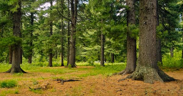 Cedar Tree Grove