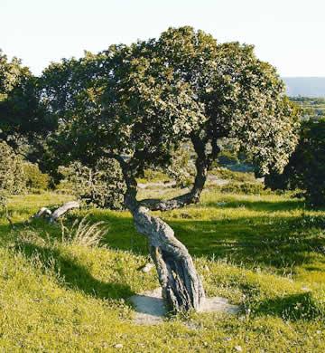 Mastiha Tree