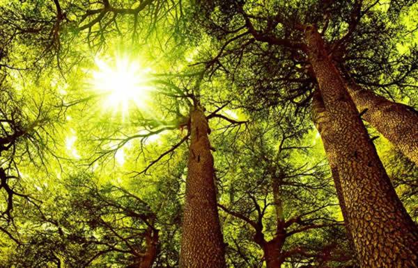 Cedar Tree in Sunlight